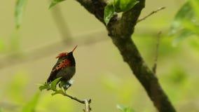 Coquete adornado, ornatus de Lophornis que senta-se no ramo durante a chuva, pássaro da floresta tropical da chuva, Trindade e To video estoque