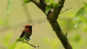 Coquete adornado, ornatus de Lophornis que senta-se no ramo durante a chuva, pássaro da floresta tropical da chuva, Trindade e To filme