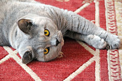 Coquettish cat. Photo of a beautiful pedigree british shorthair cat having a lazy day on her favourite rug Royalty Free Stock Photography