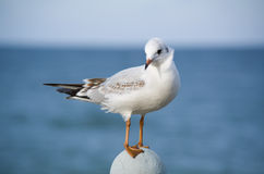 Coquettish little sea-gull Royalty Free Stock Images
