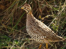 Coqui Francolin (Female) Stock Photo