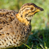 Coqui Francolin Female Portrait. A head and shoulders portrait of a female Coqui Francolin.  She was in long grass, in Kenya's Olare Orok Conservancy Stock Images