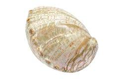 Coquillage blanc de Haliotis d'ormeau Photographie stock