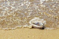 Coquillage dans l'environnement naturel Plage sablonneuse, ressac léger image libre de droits