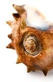 Coquillage pointu. Image libre de droits