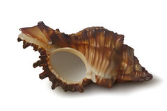 Coquillage réaliste de brun foncé sur le fond blanc Photo stock