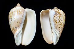 Coquillage rare de marine de nobilis de Cymbiola Photos libres de droits