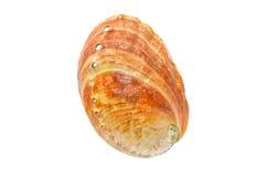 Coquillage rouge de Haliotis d'ormeau Photo libre de droits