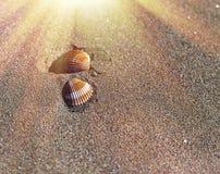 Coquillage sur une plage photos libres de droits