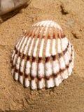 Coquillage sur une plage Photo libre de droits