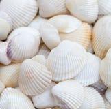 Coquillages Coquilles de mollusque images libres de droits