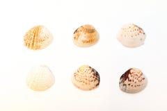 Coquillages d'isolement sur le fond blanc Photographie stock libre de droits