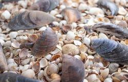 Coquillages de différentes couleurs Coquilles de mollusque Fond de Seashell photo stock
