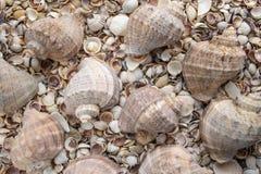Coquillages de différentes couleurs Coquilles de mollusque Fond de Seashell photographie stock