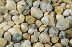 Coquillages de diff?rentes couleurs Coquilles de mollusque Fond de Seashell Texture des coquilles images libres de droits