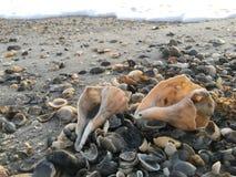 Coquillages par le bord de la mer photographie stock libre de droits