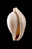Coquille blanche Image libre de droits