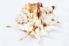 Coquille de mer blanche de l'océan Photo libre de droits