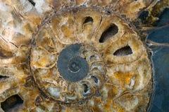 Coquille d'ammonite dans la section - sous-classe éteinte des mollusques de céphalopode Photos libres de droits