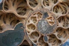 Coquille d'ammonite vue dans la section Image stock