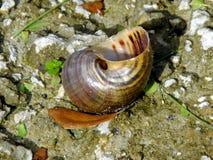 Coquille d'eau douce d'escargot Plan rapproché Photographie stock