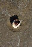 Coquille d'escargot de lune sur la plage Image libre de droits