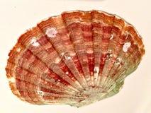 Coquille d'huître Photo libre de droits
