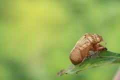 Coquille de cigale sur le leaft vert d'un arbre dans le backgr de matin Image libre de droits