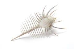 Coquille de conque de la coquille A de murex de Venus Comb Photos libres de droits