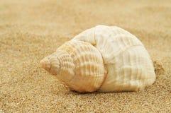 Coquille de conque de Spired sur le sable photographie stock libre de droits