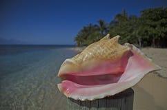 Coquille de conque sur une plage, Roatan, Honduras Images stock