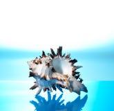 Coquille de coque de mer images stock