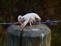 Coquille de crabe brûlée par le soleil image libre de droits