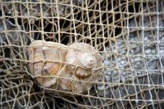 Coquille de Gener en filet de pêche photo image libre de droits