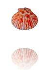 Coquille de mer Image libre de droits