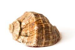 Coquille de mer Photo stock