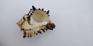 Coquille de mer avec le papier peint texturisé gris-clair de fond, photographie stock libre de droits