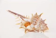 Coquille de mer, la belle vie d'océan d'Andaman, la Thaïlande Image libre de droits