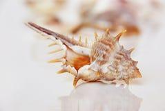 Coquille de mer, la belle vie d'océan d'Andaman, la Thaïlande Photographie stock libre de droits