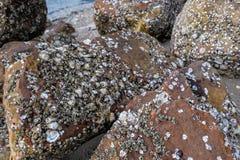Coquille de mer sur la roche Photographie stock