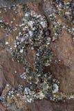 Coquille de mer sur la roche Photographie stock libre de droits