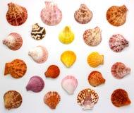 Coquille de mer sur le fond blanc, vue supérieure photographie stock libre de droits