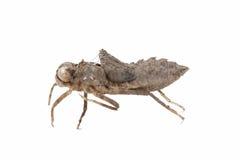 Coquille de nymphe de libellule Photographie stock