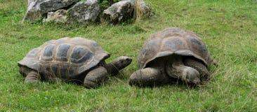 Coquille de tortues de tortue sur l'herbe verte Images libres de droits