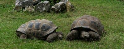 Coquille de tortues de tortue sur l'herbe verte Photographie stock libre de droits