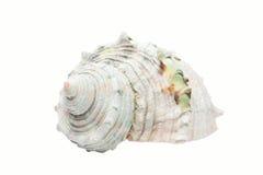 Coquille en spirale blanche Photo libre de droits