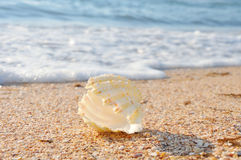 Coquille exotique sur la plage photographie stock libre de droits