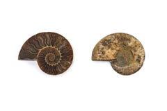 Coquille fossile d'ammonite de Nautilus d'isolement Photographie stock