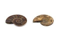 Coquille fossile d'ammonite de Nautilus d'isolement Photos libres de droits
