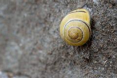 Coquille jaune d'escargot Photo stock
